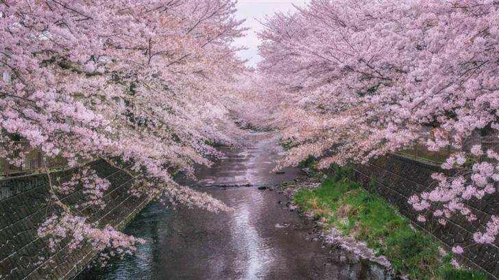 Beautiful Pink Cherry Blossoms Mac Wallpaper