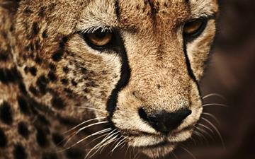 The Cheetah Mac wallpaper