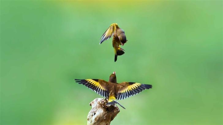 Goldfinch Birds Mac Wallpaper