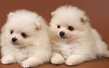 Pomeranian Puppies Mac wallpaper