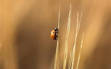 Lady Beetle Mac wallpaper