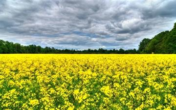 Field Of Rapeseeds Mac wallpaper