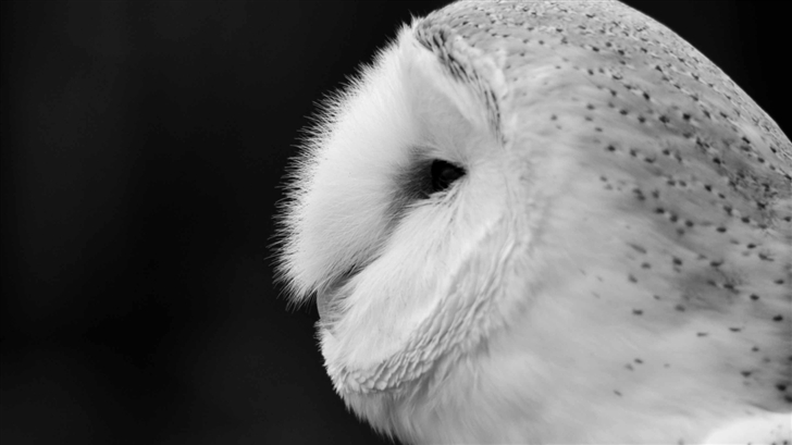 Barn Owl Black And White Mac Wallpaper