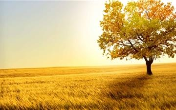 Golden Field All Mac wallpaper