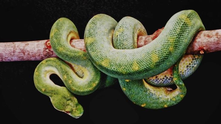 Green Boa Constrictor Mac Wallpaper