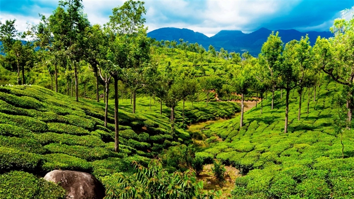 Green Tea Field Kerala India Mac Wallpaper