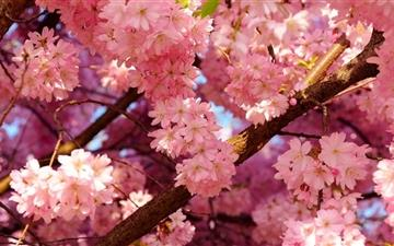Pink Cherry Flowers All Mac wallpaper