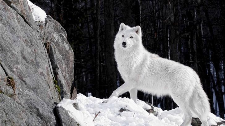 White Wolf Mac Wallpaper