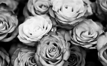 Roses Black And White All Mac wallpaper