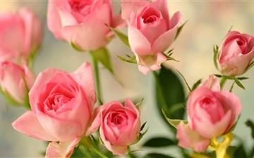 Cute Pink Roses Mac wallpaper