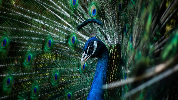 Beautiful Peacock Mac Wallpaper