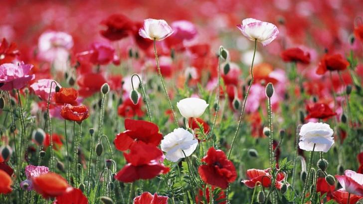 Poppies Field  Mac Wallpaper