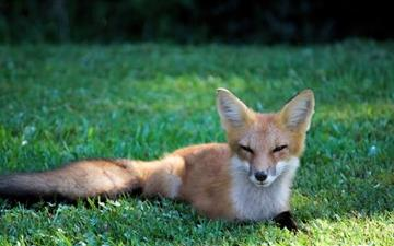 Pretty Red Fox All Mac wallpaper