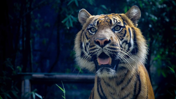 Sumatran Tiger Mac Wallpaper
