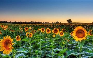 Sunflower Field Sunset Mac wallpaper