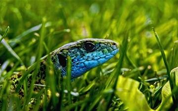 Green Blue Lizard Mac wallpaper