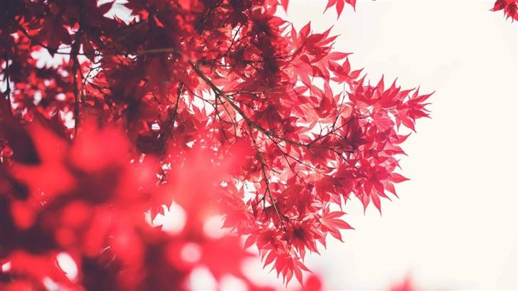 Red Japanese Maple Mac Wallpaper