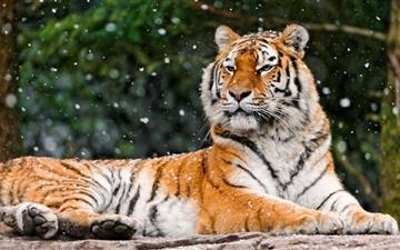 Siberian Tigress All Mac wallpaper