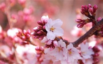 Cherry Blossom Buds Mac wallpaper
