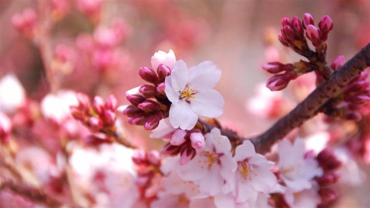 Cherry Blossom Buds Mac Wallpaper