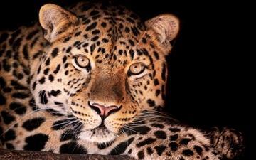 Magnificent Leopard Mac wallpaper