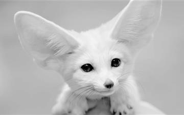 Fennec Fox Mac wallpaper