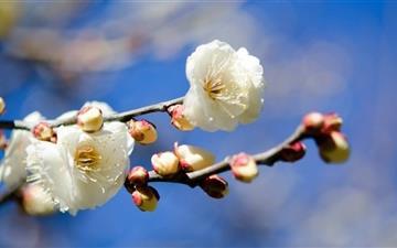 Plum Blossoms Mac wallpaper