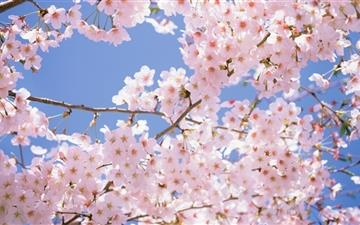 Blossomed Cherry Tree All Mac wallpaper