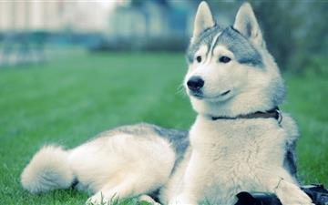 Husky On The Grass All Mac wallpaper