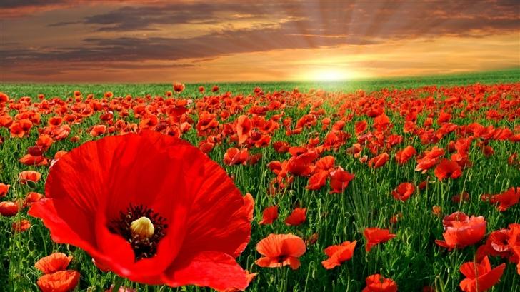 Sunset Poppy Field Mac Wallpaper