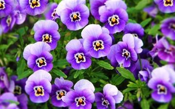Purple Pansies Mac wallpaper