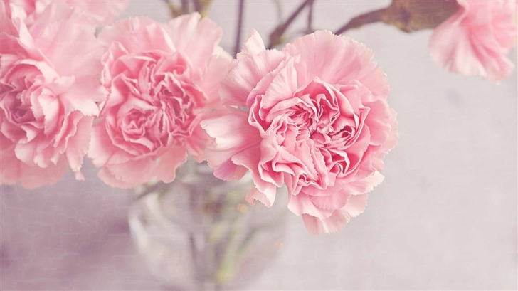 Light Pink Carnation Flowers Mac Wallpaper