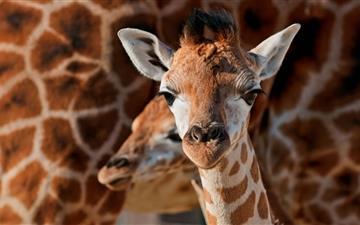 Young Giraffe Mac wallpaper