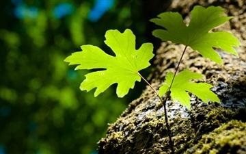 Green Leaves And Moss Mac wallpaper