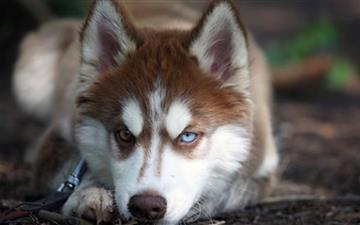 Blue Eyed Husky Mac wallpaper