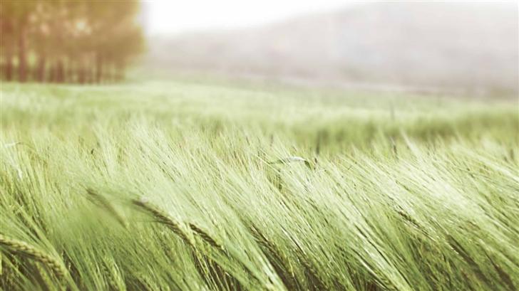 Green Wheat Mac Wallpaper